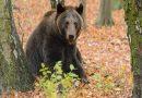 Jak uniknąć spotkania z wilkiem czy niedźwiedziem? Wskazówki od WWF Polska